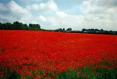 The poppy-field, Clonmel, Co.Tipperary, Ireland.