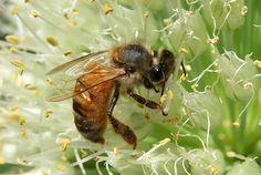 Honey Bee Photograph  - Honey Bee Fine Art Print