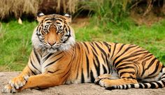Последният български цирков тигър Варвара замина за Германия. Тигрицата вече пътува към новия си дом, където я очаква спокоен и щастлив живот.