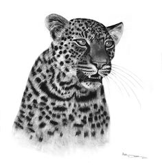 Charcoal Drawings by Ashleigh Olsen, Drawing of Leopard, Leopard Drawing, African Wildlife Art, Leopard Portrait.
