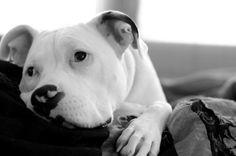 bullysmiles:  This is Tech the Pitbull by Charlie Becker on...#pitbulls #dog breeds #canine pet #dogs #pitbull puppy #pitbull dog #pitbull breeds #red nose pitbull #pitbull terrier #apbt #staffordshire terrier #amstaff #english terrier #black pitbull #moo moo pit #chocolate pitbull #pitbull poodle #blue nosed pit #pitbull mutt #mans best friend #4 month old pitbull