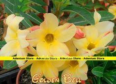 New Adenium Obesum 'Golden Bell' 5 Seeds