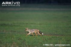 Side striped jackal