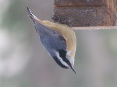 Better snap of the nuthatch.