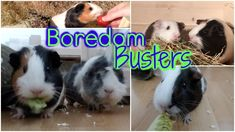 Great Boredom Busters/breakers ideas for guinea pigs! Keep life interesting for the little fur balls :)