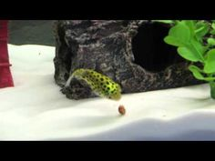 Pufferfish eating a snail for the first time - YouTube