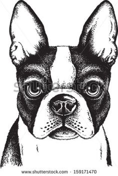 Black and white vector sketch of a fawn Boston Terrier's face - stock vector