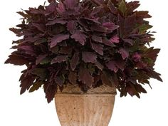 'Marooned' is easy-to-grow in sun or shade. Like most coleus, its flowers, which are purple, aren't showy, but its dark red to rich burgundy colored foliage is outstanding. To overwinter your coleus as a houseplant, bring it inside before the first frost.