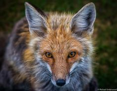 Red Fox by Michael Underwood on 500px