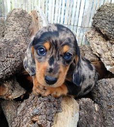 She's practicing her puppy dog eyes! (x-post from /r/dachshund) puppy needs, training lab puppy, maltipoo puppy white Tiny Puppies, Cute Puppies, Cute Dogs, Doxie Puppies, Retriever Puppies, Labrador Retriever, Dachshund Funny, Dachshund Breed, Daschund