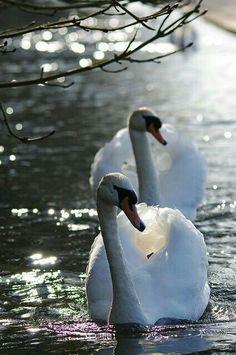 Swan Love, Beautiful Swan, Beautiful Birds, Animals Beautiful, Animals And Pets, Cute Animals, Nature Animals, Mute Swan, All Birds