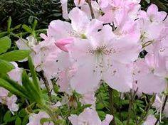 """Rhododendron schlippenbachii, kuningasatsalea """"Estelle"""" Garden, Plants, Garten, Lawn And Garden, Gardens, Plant, Gardening, Outdoor, Yard"""