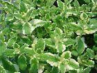 Mentha PINEAPPLE   Frø/ frøplanter/ stor plante