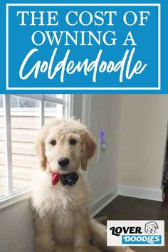 Here is a break down of how much it costs to own a Goldendoodle! #PuppyCost #CostForAPuppy Doodle Dog Breeds, Huge Teddy Bears, Cavachon, Goldendoodles, Dog Puzzles, Pet Shampoo, Mini Dogs, Most Popular Dog Breeds, Getting A Puppy