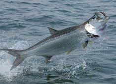 Alabama State Saltwater Fish ~ Tarpon #fishingline