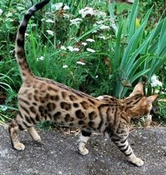 If i had any interest in owning a cat I'd want an awesome looking bengal cat!