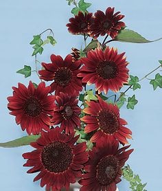 """Sunflower, Chianti Hybrid Flowers are 3-4"""" across on 4-5 ft plants. lifecycle: Annual Uses: Borders Sun: Full Sun Height: 4-5 feet Spread: 18-22 inches Sowing Method: Direct Sow/Indoor Sow Bloom Duration: 8 weeks"""
