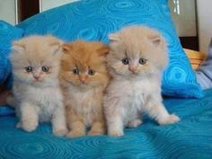Very interesting post: TOP 46 Funny Cats Pictures.сom lot of interesting things on Funny Animals, Funny Cat. Puppies And Kitties, Little Kittens, Cute Cats And Kittens, Baby Cats, Kittens Cutest, Fluffy Kittens, Ragdoll Kittens, Bengal Cats, Beautiful Cats
