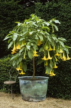 "Brugmansia is a tropical evergreen shrub but it is also easy to grow in cold climates. To overwinter it, keep it indoors when the temperature starts to dip down below 50 F (10 C). Brugmansia flowers smell well in the night and attracts pollinators. Growing Brugmansia in a pot is easy. It is also called ""Angel's Trumpet"", and it is often confused with datura"