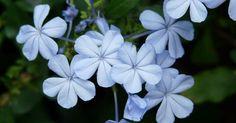 Belleza que trepa llenando de belleza cualquier jardín