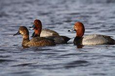 Ducks Unlimited Photo Gallery : WILDLIFE