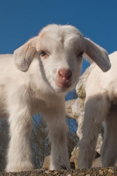 So friggin cute! cute baby animals from thedesigninspirat. Cute little lamb I love baby animals. Animals And Pets, Funny Animals, Smiling Animals, Baby Farm Animals, Wild Animals, Cute Goats, Baby Goats, Tier Fotos, Cute Little Animals
