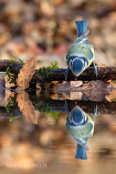 "Blue Tit: ""Impressive ~ My Very Own Reflection!"""