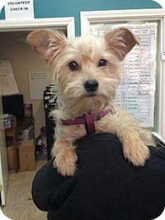 Thousand Oaks, CA - Yorkie, Yorkshire Terrier Mix. Meet Fancy, a puppy for adoption. http://www.adoptapet.com/pet/12754854-thousand-oaks-california-yorkie-yorkshire-terrier-mix