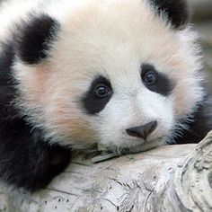 Baby panda (: