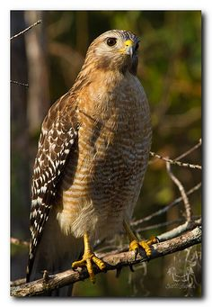 Hawk: - U're caught up in 2 many details,step back 2 get a greater perspective. - Stay alert & focused on the task before u,eliminating distractions. - Spend time observing & studying the situ,& when its time for action,make it quick & decisive. - Pay close attention to your surroundings,as u're about to receive an NB message. - Be aware of any personal or psychic attacks & be prepared to defend yourself. - Stop trying to change others or the situ & work instead on accepting things as they…