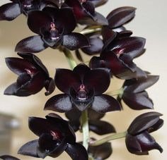 After Dark 'Black Diamond' is one of the black orchids, a Catasetinae, bred by Fred Clarke of Sunset Valley Orchids. The orchid is among a number he has created that are in a genus named for him, Fredclarkeara, abbreviated Fdk.