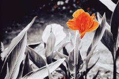 #nature #flower #cannaindica #tadaa #tadaaslr #colorstrokes #camerabag2 #iphoneography