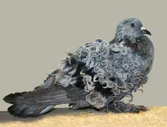 Animals With Majestic Hair----Curley Haired Pigeon. The most fascinating pigeon in the park, hands down. Pretty Birds, Love Birds, Beautiful Birds, Animals Beautiful, Cute Animals, Hilarious Animals, Pigeon Breeds, Mundo Animal, Colorful Birds
