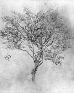 "Frederic, Lord Leighton  Study of a Lemon Tree, 1859  53.4 X 39.4 cm  silverpoint on white paper      John Ruskin, the British art critic who championed ""truth to nature,"" gave Leighton's Cimabue mixed reviews when the painting was exhibited in 1855.  When Ruskin saw Leighton's Study of a Lemon Tree at an exhibition at the Hogarth Club in 1860, however, Ruskin was won over, and borrowed the work to hold up to his students as an exemplar of his own philosophies."