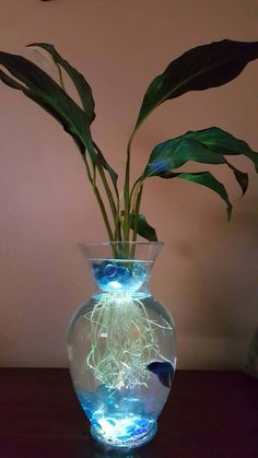 Beta Fish Tank with Live Peace Lily or Orchid Now with lights! Symbiotic and Beautiful*Medium sized tank *remote control 12 color led light*- Such a beautiful way to keep your beta! Live Peace Lily helps to keep the water clean while also provi Betta Fish Tank, Beta Fish, Fish Tanks, Vase Fish Tank, Peace Lily Plant, Orchid Roots, Indoor Water Garden, Aquarium Design, Plantation