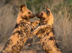 Wild Dog Brothers by Brian Scott on 500px