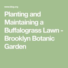 Planting and Maintaining a Buffalograss Lawn - Brooklyn Botanic Garden