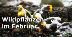 Wenn du glaubst, dass es im Februar keine Wildpflanzen zu sammeln gibt, solltest du unbedingt diesen Beitrag lesen und dich auf die Suche nach frischen Vitalstoffen machen.
