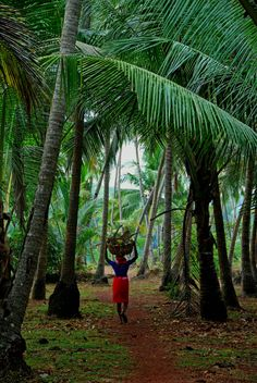 Gathering coconuts...i would love to do this..not for a living... for fun..