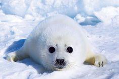 Arctic seals - Google Search
