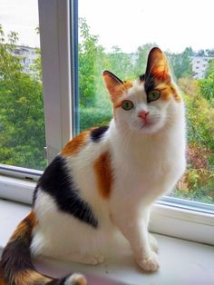 Pretty Cats, Beautiful Cats, Cute Cats And Kittens, I Love Cats, Gato Calico, Calico Cats, Bobtail Cat, Cat Aesthetic, Here Kitty Kitty