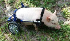 Chris P. Bacon, pig on wheels.