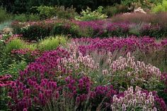 A mass planting of Hyssop with some Echinacea by Piet Oudolf.