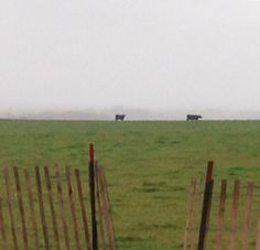 Cows in the fog near New Glarus, WI. Photo by L. Kappell