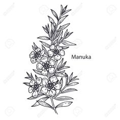 Find Realistic Medical Plant Manuka Vintage Engraving stock images in HD and millions of other royalty-free stock photos, illustrations and vectors in the Shutterstock collection. Illustration Blume, Botanical Illustration, Love Music Tattoo, Flower Sketches, Hand Drawn Flowers, Plant Drawing, Botanical Drawings, Small Flowers, Ink