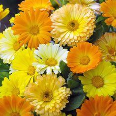 Calendula Citrus fruit flowers - Annual Flower Seeds.