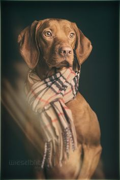 Magyar Vizsla by Elke Vogelsang on 500px* It could have been my Stella