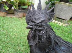 Neu in unserer Serie Underground Animals: Ayam Cemanis sind komplett schwarze Hühner.