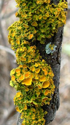 Lichen on a Mesquite tree. | Flickr - Photo Sharing!