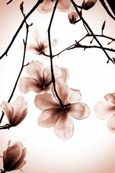 Magnolia's by Brenda Hartman